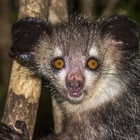Is it a rodent? Is it a squirrel? No, it's an aye-aye!